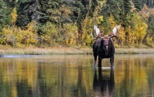 giant moose canada