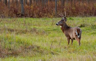 Early season whitetail deer buck standing in a field.