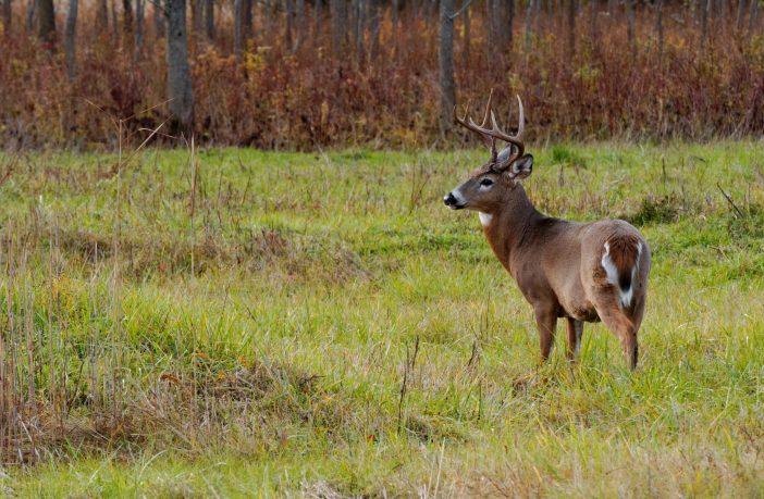Early season whitetail deer buck standing in a field.
