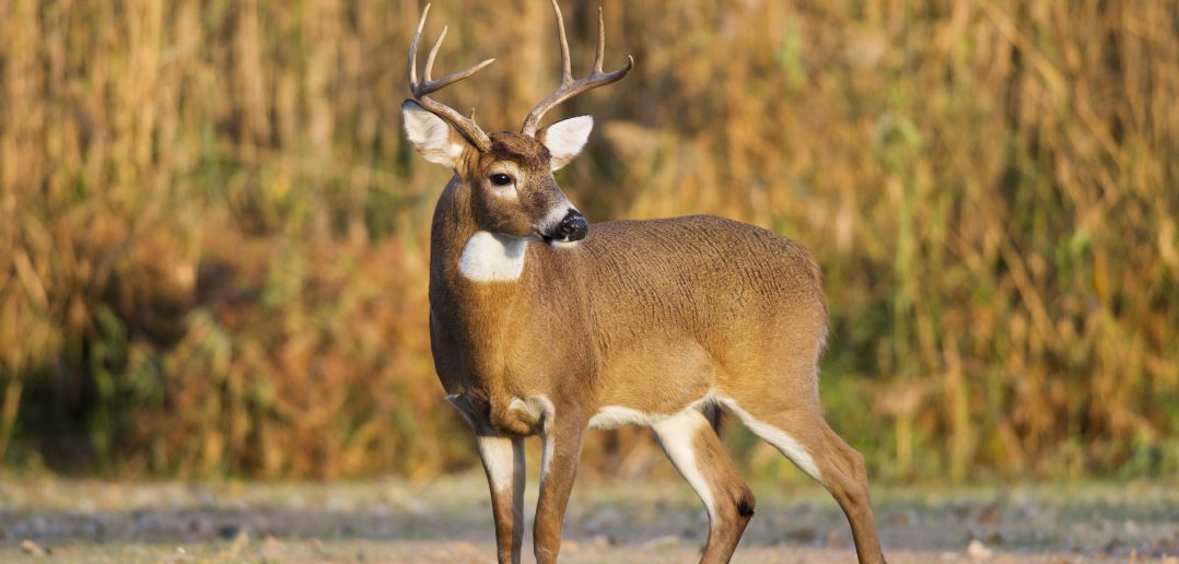 Large whitetail buck during early season