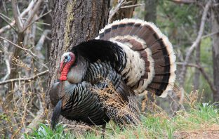 Wild Male Turkey
