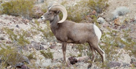 Nevada: The Ultimate Bighorn Sheep State